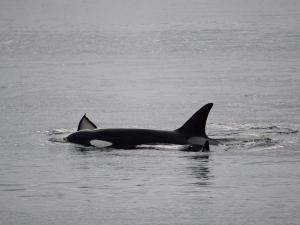 Orcas in the Ucluelet Harbour