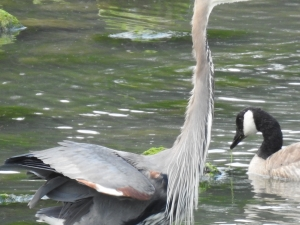 Heron fluffing its wings with water drops falling from its drooping neck feathers