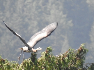 A Great Blue Heron takes off from an evergreen tree top