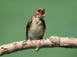 A Northern Rough-winged Swallow sitting on a branch with its mouth open wide. It looks like it\\\'s yelling at someone.